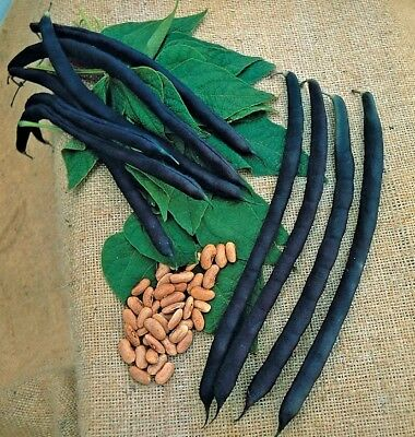 Vegetable Climbing French Bean Cosse violette 30 seeds