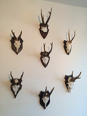 7 Sets Of Attractive Antlers Roe Deer Stag Points Horns Taxidermy  Trophy