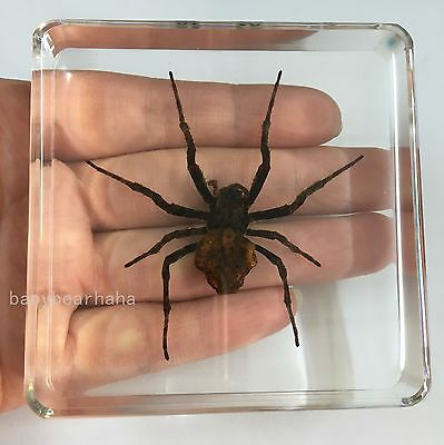 Insect Specimen - Ghost Spider (Araneus ventricosus) in 75x75x20 mm Paperweight