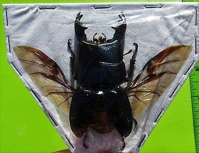 Lot of 10 Black Stag Beetle Dorcus alcides Male Spread FAST FROM USA