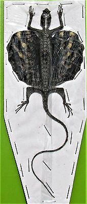 Draco Flying Dragon Lizard Draco volans volans Taxidermy FAST FROM USA