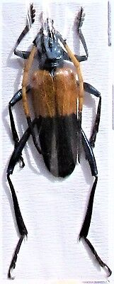 Colorful Yellow & Black Longhorn Beetle Pachyteria javana FAST SHIP FROM USA