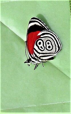 Cramers Eighty-eight Butterfly Diaethria clymena Folded FAST SHIP FROM USA
