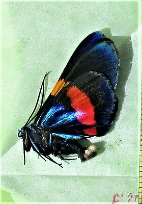 Pretty Day Flying Moth Milionia drucei Papered/Folded FAST SHIP FROM USA