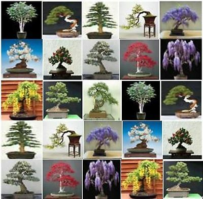 Collection of 100 x mixed tree seeds. Ideal for growing into bonsai trees!!