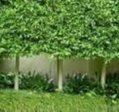 20 x FICUS microcarpa hillii tall native fast dense hedging plants in 40mm pots