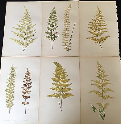 Lot Of 6 Fern Prints By E.j.lowe From Our Native Ferns 1865