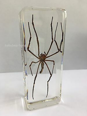 Real Insect Specimen-Giant Wood Spider -Long legged spider- Teaching Tools NEW