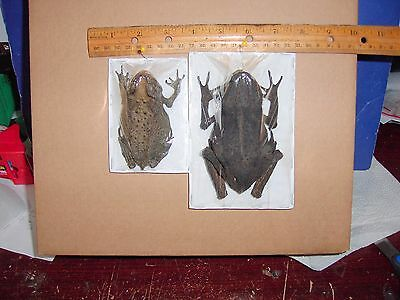 TOAD & Fanged FROG Taxidermy  RARE 2 SPECIES FULL DISPLAY FREEZE DRY SPECIMENS