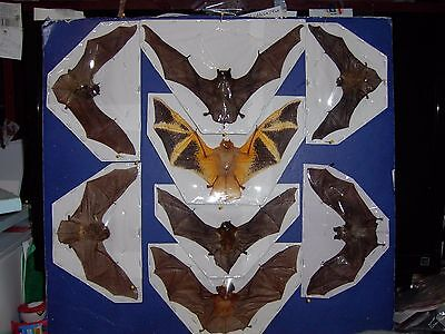 Hanging Bat Bats Taxidermy SOME Rare 8 Species FLYING Position BEST VALUE