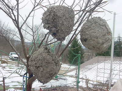 3 Paper Wasp Bald Hornet Nest Hive taxidermy Science Entemology Display Lot