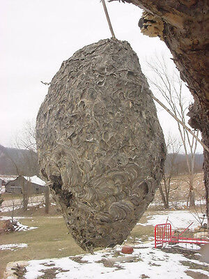 2 Paper Wasp Bald Hornet Nest Hive taxidermy Science Entemology Display Large