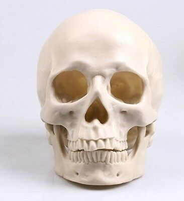 1x New Human Skull Replica Resin Model Medical Realistic lifesize 1:1 Nice White