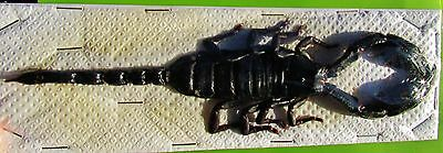 "Popular Giant Black Scorpion Heterometrus laoticus, 6-7 ½""  FAST SHIP FROM USA"