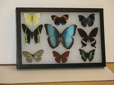 Real framed Butterfly collection #8