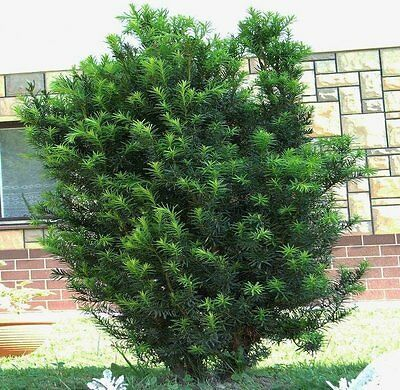 ENGLISH YEW (Taxus Baccata) 20+EXTRA seeds (#557)
