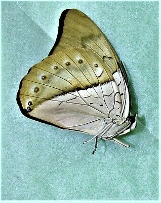 White-spotted Prepona Butterfly Prepona amphimachus Male Folded/Papered FAST US