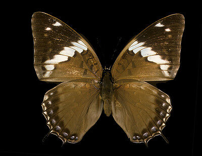 Lot of 2 Common Blue Charaxes Butterfly Charaxes tiridates Male Folded Fast USA