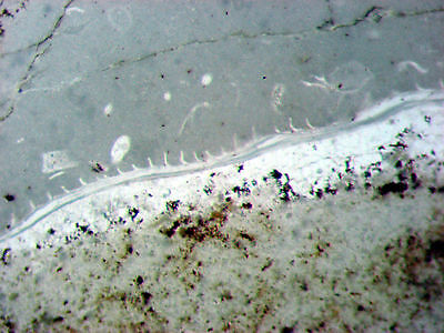 Ordovician brachiopod w/ spines microscope THIN SECTION slide Bromide Oklahoma