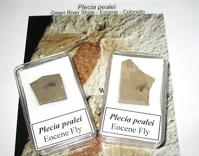 Eocene Green River Plecia pealei fossil fly on matrix good clear specimens rare