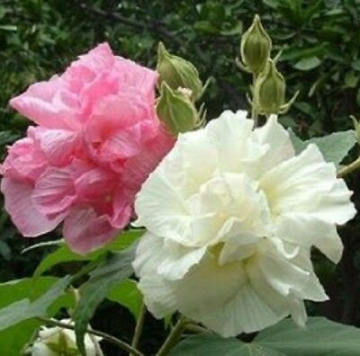 ROSE OF SHARON Hibiscus mutabilis double white pink & red flowers plant 140mm