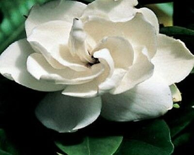20 x GARDENIA MAGNIFICA augusta large perfume white flower plants in 40mm pots