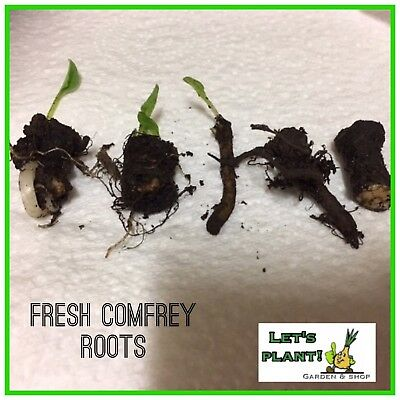 5x Comfrey Root Symphtum Cuttings-Easy To Grow-Perfect for Organic farming