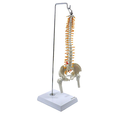 S24.3162 Spine Model With Pelvis Femur Heads 1/2 Life Lab Equipment Detailed New