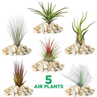 Tillandsia Mix - 5 Plants - Indoor Air Plant for House Vivarium Terrarium