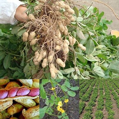 50 Seeds Of Jumbo Virginia Peanuts Untreated Seeds Organic Hot Sale
