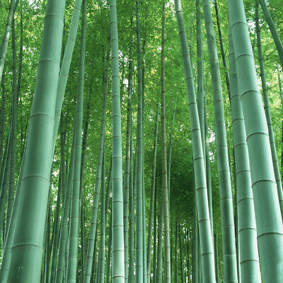 60 Seeds/Pack Giant Moso Bamboo for Home Garden Decoration DIY