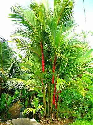 10 seeds Lipstick Palm Tree - CYRTOSTACHYS RENDA - Red Palm - Tropicals plant