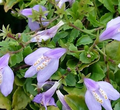 Native Mazus Pumilio - Add colour to your ponds edge, healthy pond water plant