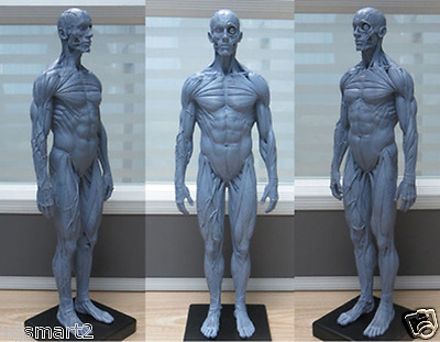 New PU 1:6 gray human muscle system anatomy teaching medical model male 30cm