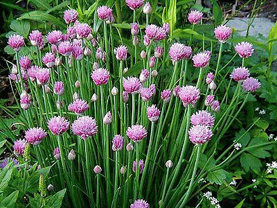 Onion/ Common Chive (300 seeds) - Organic Heirloom from Life-Force Seeds