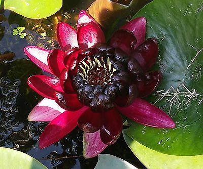 Hardy water lily * Nymphaea Black Princess *  TOP OFFER * Pond Plant