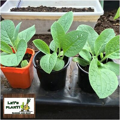 1x Russian Comfrey Plant (Perfect for Organic farming)