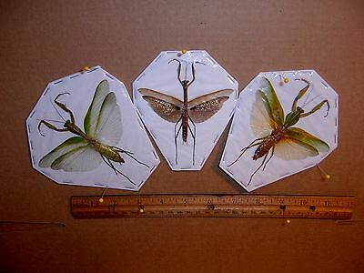 Praying Mantis Mantodea TRIO 1 Male 2 Female Great Specimens 3 Different Species