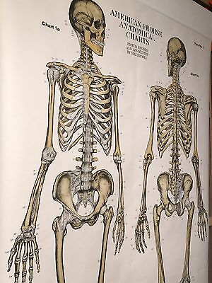 American Frohse Medical Anatomy Chart Human Skeleton Skeletal Chicago