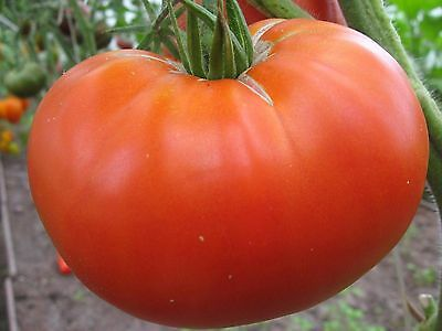 "Rare Organic vegetable Tomato seed "" Right size"" 50 Seeds."