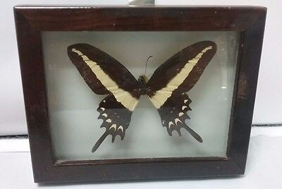 """Mounted & Framed Single Butterfly Made in Brazil 4""""x 5"""" Taxidermy"""