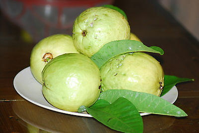 Punjab Round Verry Big Typeps Guava Seeds -Fs 5566- So Sweet Tropical Fruits