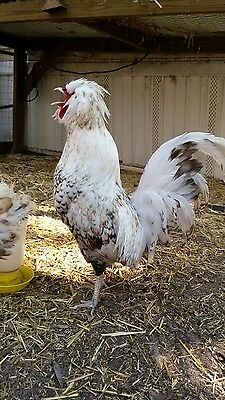 6 Large Fowl Calico Polish Fertile Hatching Eggs