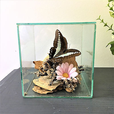Encased Real Butterfly - Taxidermy - Brown & Blue Butterfly  Glass Cube