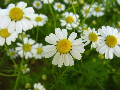 4 Pack - Chamomile Lawn Plants Anthemis nobilis - Small but Healthy in 7cm pots
