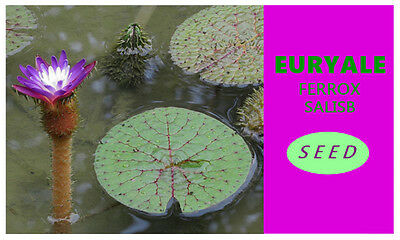 New RARE 6 viable Seeds Barbed water lily Euryale ferox Giant water lily