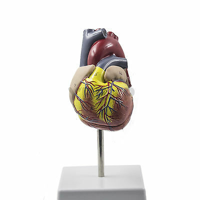 NEW Hunam Heart Model With Digital Marker For School Learning