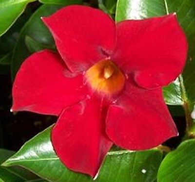 ALOHA RED Mandevilla sanderi climbing bright red flowers plant in 165mm pot