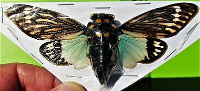 Lot of 10 Giant Blue Winged Asian Cicada Tosena splendida FAST SHIP FROM USA