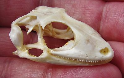 Lot of 10 Tokay Gecko Lizard Gekko gecko Skull FAST SHIP FROM USA